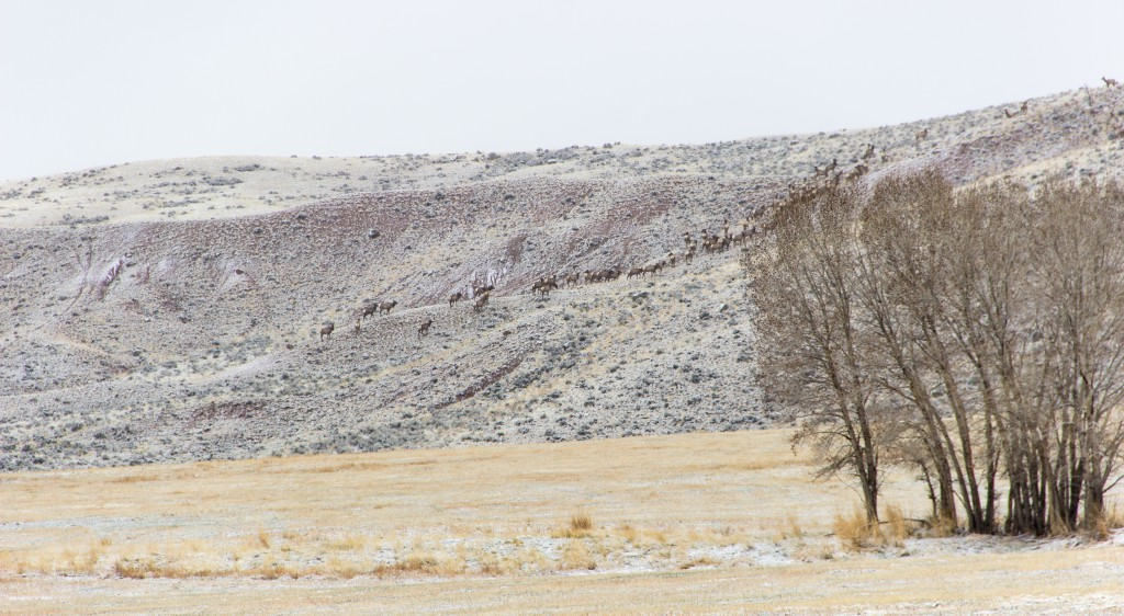 Elk herd migration to their summer grazing fields (Greater Yellowstone ecosystem)